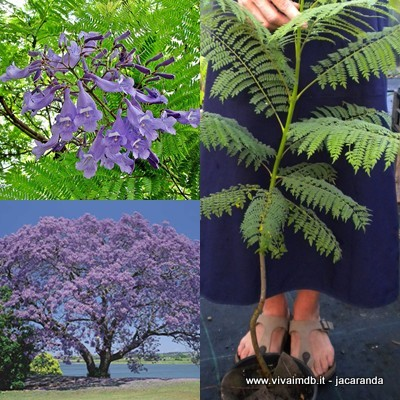 JACARANDA MIMOSIFOLIA Falso Palissandro Brazilian rose wood, green ebony <b>vaso 18</b> altezza 50-70Cm